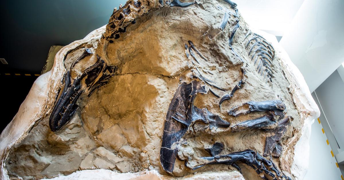Se exhiben impresionantes fósiles de T.rex y triceratops en duelo