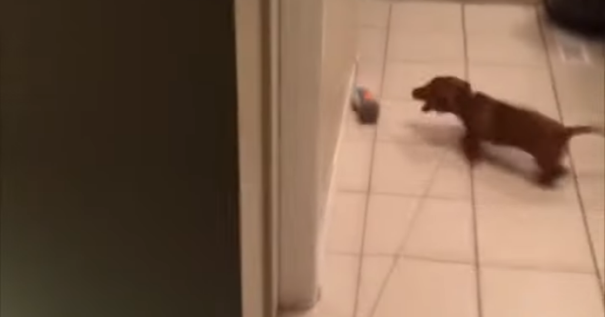 La persecución interminable de este adorable cachorrito es divertida y fácil de identificar