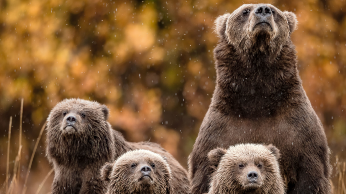 Deja de jugar con los osos en los parques nacionales