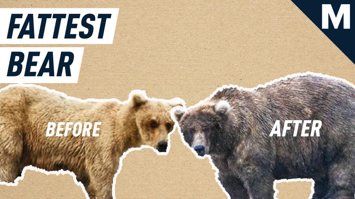 Temporada de osos gordos: todo lo que necesita saber sobre la mejor época del año